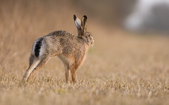 Stretching Easter Bunny (Wouter's Wildlife Photography) Tags: nature animal easter mammal hare wildlife explore haas billund brownhare lepuseuropaeus explored