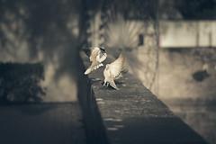 Cortejo (Gure Elia) Tags: park parque primavera birds fly flying spring bokeh aves palomas doves pamplona taconera courtship volar accin cortejo canoneos5d samyang135f2