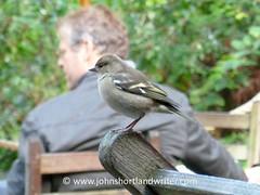 Chaffinch @ Watersmeet (john shortland) Tags: wild bird person nationalpark devon nationaltrust fringillacoelebs chaffinch watersmeet westcountry exmoor