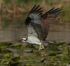 1 Month till Osprey Season (ken.helal) Tags: 20150430osprey