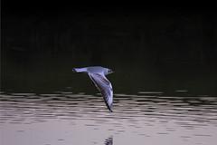 Waterdonken Breda februari 2016_004 (cees van gastel) Tags: seagulls nature birds vogels natuur breda meeuwen tamron70300mm vliegend ceesvangastel canoneos550d waterdonken waterakkers
