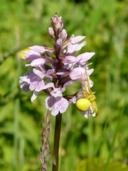 "Common spotted Orchid and crab spider • <a style=""font-size:0.8em;"" href=""http://www.flickr.com/photos/27734467@N04/25583333075/"" target=""_blank"">View on Flickr</a>"