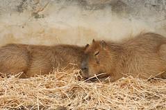 Capybaras (zigazou76) Tags: zoo capybara vincennes parczoologique