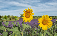 I'm With You (marypink) Tags: flowers summer france estate sunflowers lavander fields provence francia paesaggio provenza girasoli lavanda campi valensole 2470mmf28 nikond7200