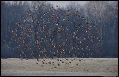 DSB_8606-22-01-2016 - storni (r.zap) Tags: sturnusvulgaris storno parcodelticino rzap casadellebarche