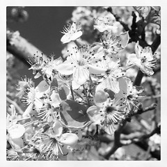 103/365/5 (f l a m i n g o) Tags: apple square blossoms 4th squareformat april monday inkwell iphone 2016 project365 365days iphoneography instagramapp
