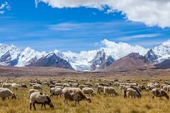 Sheeps in Tibet (Kelvinn Poon) Tags: sheep tibet  snowmountain