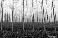 Popular Fields (_DSF6635) (Param-Roving-Photog) Tags: winter sky blackandwhite bw monochrome field season landscape photography village branches dry crop plantation agriculture ludhiana populartree