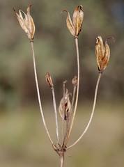 Burchardia congesta, Kings Park, Perth, WA, 29/03/16 (Russell Cumming) Tags: plant perth kingspark westernaustralia colchicaceae burchardia burchardiacongesta