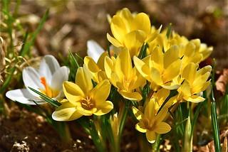 spring beauties (explored)