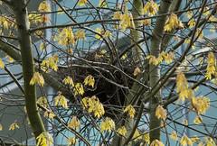 Northwestern Crow (Corvus caurinus) (ekroc101) Tags: birds vancouver bc coalharbour northwesterncrow corvuscaurinus