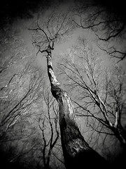 The Crone (Creepella Gruesome) Tags: light shadow blackandwhite tree nature woods branches creepy spooky bark phantasm