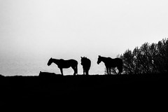 Horses On A Hill (me'nthedogs) Tags: horses silhouette mono somerset eastquantockshead