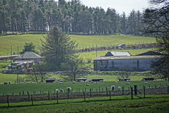 Spring on the farm. (artanglerPD) Tags: trees building sheep farm straw fencing bales strichen