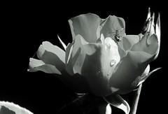April23image5333 (Michael T. Morales) Tags: flowers rose garden buds rosebuds