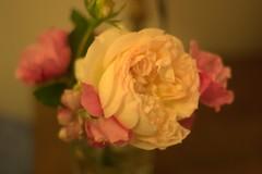 Rosas Silvestres (Carolina Monsalve) Tags: flowers roses wild flores flower rose warm canon300d flor rosas takumar50mm noedition sinedicion rosassilvestres