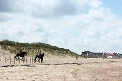 (Maddily M.G.) Tags: sunset sea horses mer beach nature eau dunes dune noordzee northsea knokke nordsee plage merdunord zwin quitation