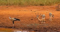 The secretary with his gazelle (Peter u Hilde) Tags: kenia sekretr gezellen indernhevonvoi