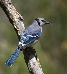 Blue Jay (tevans9129) Tags: nikon tennessee bluejay tc17e 400f28 d800e