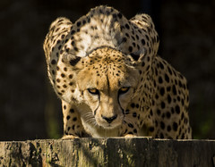Cheetah at the Memphis Zoo (Jon Wisniewski) Tags: zoo memphis tennessee cheetah