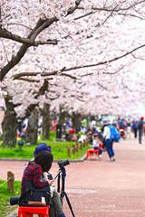 Cherry blossom viewing () Tags: japan canon spring   sakura osaka   ef70200mmf4lisusm 5d3