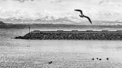 Port (TisspA) Tags: blackandwhite bw seagulls white lake black alps birds alpes landscape switzerland noir suisse noiretblanc ducks lac paysage et blanc neuchtel oiseaux canards mouettes