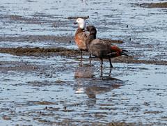 NZ 14 (148) (Baffledmostly) Tags: reflection invercargill sandypoint paradiseshellduck