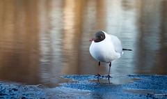 Seagull on thin ice (>>Marko<<) Tags: bird ice nature water animal canon suomi finland spring seagull joensuu lintu lokki valokuvaus