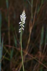 Polygala monosperma (Mauricio Mercadante) Tags: jardimbotnico polygala polygalaceae taxonomy:binomial=polygalamonosperma polygalamonosperma