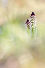 Brand-Knabenkraut (MichaelMerl) Tags: bayern nikon orchidee orchis 2016 ustulata brandknabenkraut