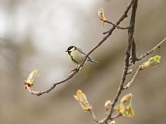 Carbonero común / Parus major / Great tit (vic_206) Tags: bird greattit parusmajor carbonerocomún canon300f4lis canoneos7d