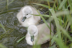 Fluffy   :)) (carlo612001) Tags: cute swan small fluffy chicks softly cigno pulcino sidebysyde