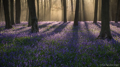 Another early start !! (Sue MacCallum-Stewart) Tags: trees nature bluebells woodland sussex earlymorning wephamwood