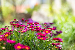 Colours (annfrau) Tags: flowers primavera spring colours bokeh colori hbw canon50mmf18stm
