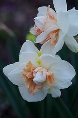 My Story double daffodil (Niki Gunn) Tags: flower macro pentax daffodil april tamron 90mm k5 tamron90mm doubledaffodil 2016 tamron90mmf28 tamron90mmmacro tamronspaf90mmf28