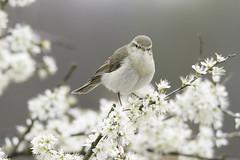 Fitis (judithvanagthoven) Tags: nature birds canon nederland vogels natuur boom april bloesem 2016 600d fitis zangvogels sigma150500mm