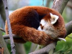 Snooze (Keith Mac Uidhir  (Thanks for 3.5m views)) Tags: ireland red dublin animal zoo panda irland dier animalia tier dublino irlanda irlande ierland irska dubln irlandia lirlanda irsko  airija irlanti  cng  iirimaa ha     rorszg         rlnd
