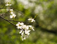 Apr 5: Spring Tree Bloom (johan.pipet) Tags: white flower detail tree green nature canon spring europe flickr bokeh eu sunny jar bloom slovensko slovakia palo bratislava strom bartos dubravka zelený biely bartoš