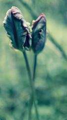 Irgendwietulpe (redstarpictures) Tags: plant abstract flower tulips blossom pflanze blume tulipa abstrakt tulpen tulpe bluete
