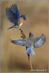 Eastern Bluebird (Earl Reinink) Tags: blue ontario bird niagara earl bluebird d5 easternbluebird reinink earlreininknikonnikon zoedrahdra