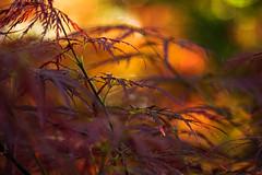 (Light Echoes) Tags: orange plant macro tree spring maple dof bokeh outdoor pennsylvania sony depthoffield april 2016 a6000 dwarfmaple