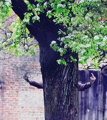 The finger Pear (Corinne Lejeune Girot) Tags: world tree nature ecology day finger jour doigt pear terre dfense poirier