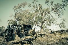 IMG_9907 1 (gaujourfrancoise) Tags: nt australia downunder northernterritory australie kakadunationalpark deadtrees arbresmorts gaujour