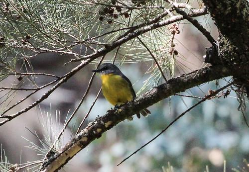 Eopsaltria australis australis (Yellow Robin)