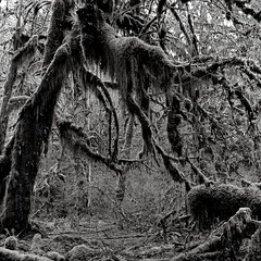Reaching out (that analogue guy) Tags: trees washington moss 11 d76 bronica 400 hp5 olympics olympicnationalpark ilford hohrainforest sqai hallofmosses zenzanon80mmf28ps
