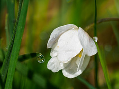 Droplet (Highlandscape) Tags: wood trees light white plant flower green nature water grass woodland bay focus dof outdoor olympus anemone droplet urquhart markii anemonenemorosa woodanemone nemorosa em5 urquhartbaywood httphighlandscapezenfoliocom olympusem5markii