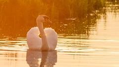 Zwaan (wimzilver) Tags: nederland alblasserwaard vogel zwaan wimzilver canoneos7d wimboon canonef300mmf4lisusm14x