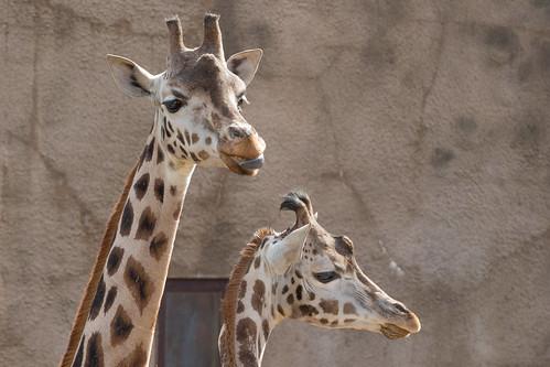 Rothschild's giraffe 2016-04-01-0442