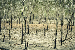 IMG_6357 (gaujourfrancoise) Tags: nt australia downunder northernterritory australie kakadunationalpark deadtrees arbresmorts gaujour