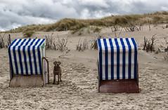 hier wache ich (stevefoltinek) Tags: dog beach norderney strandkorb wolkig wachhund